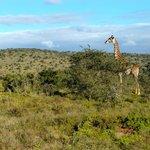 Einfach faszinierend wenn man Giraffen und andere Tiere in freier Wildbahn beobachten kann.