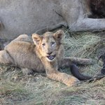 Lion cub with buffalo tail