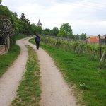 The vineyards around the village