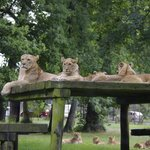 LION'S ZONE