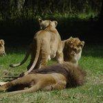 LION ZONE