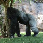 Mighty gorilla.