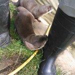 Otter biting wellies