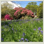 giant rhodos and bluebells