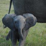 Elefantín