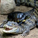crocodile and turtle