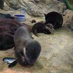 Baby Asian otters