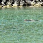 Iguana de mar