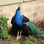 beware the Peacock