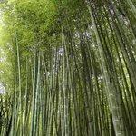 Tall bamboo in Arashiyama