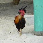 Chicken!  They roam freely around the island.