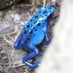 Blue tropical frog