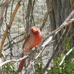 pyrrhuloxia/cardinal hybrid