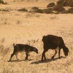 Cabras , wild lebend