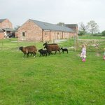 the girls chasing the sheep