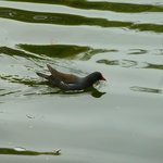 Moorhen on the lake