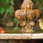 A Cape weaver trills as he bathes