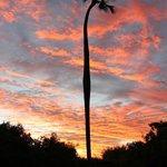 makalani palm at sunrise