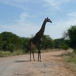 Jirafa cruzando la carretera