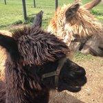 resident alpacas