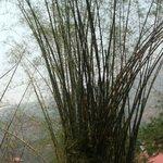 bellissimi bambù nel giardino del Resort