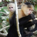 White-headed Capuchin and baby