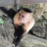 White-headed Capuchin visiting the boat