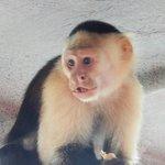White-headed Capuchin on the boat