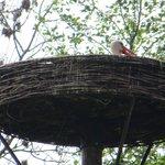 De ooievaar op zijn nest.