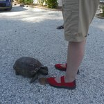 Friendly tortoise coming to visit