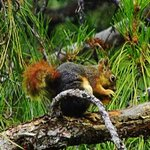 One of the red squirrels feasting on an apricot