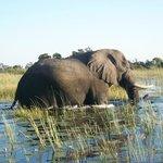Elephant crossing the Delta!