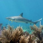 Reef Shark on Scuba Do dive