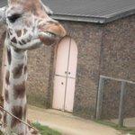 Giraff high tea, can watch from viewing platform at their head height