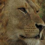 leone amboseli