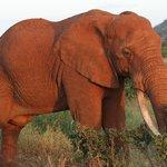 elefante tsavo est