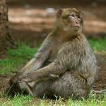 Barbary Macaque seen in forest 20 minutes from hotel