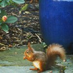 Breakfast with red squirrel