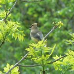Cedar waxwing spotted on the river trail