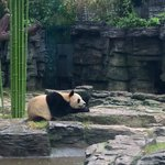 Panda at Beijing Zoo