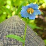 Blue Poppy, Japanese Garden