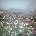 濃霧天氣,好美的波斯菊花!