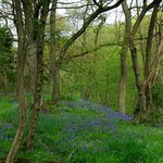 Local walk through the Bluebell Woods
