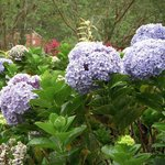 Hundreds of hydrangeas and other plantings