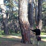 Вот такие деревья на территории отеля и в лесу
