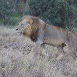 Lion Nairobi Game Park