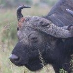 Buffalo Nairobi Game Park