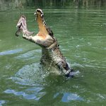 Crocodile in action