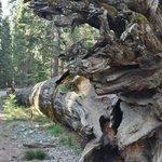 Sequoia geant de yosemite