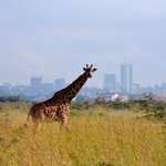 Giraffe with Nairobi in background